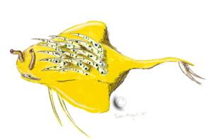 Lebtin-Speerfisch - © Falanta