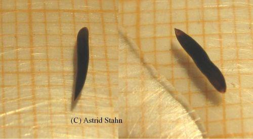 Bothromesostoma personatum ?   Planarien - Planarie - Turbellaria