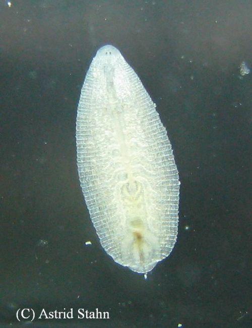 Egel- Hirundinea - Schneckenegel