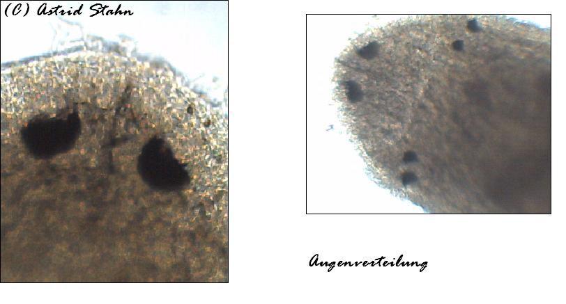 Barbronia weberi  - Egel - Schneckenegel