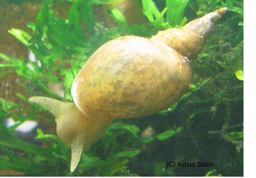 Spitzschlammschnecke - Lymneae stagnalis