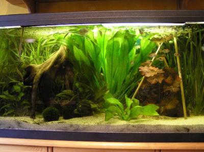 Aquaristikecke asiabecken 1 for Siamesischer kampffisch haltung