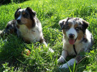 australijos galvijų šunų akcijų pasirinkimo sandoriai