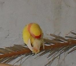 agapornis roseicollis hembra