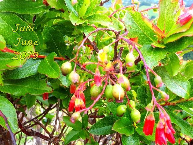 Vaccinium cylindraceum Azoren-Heidelbeere