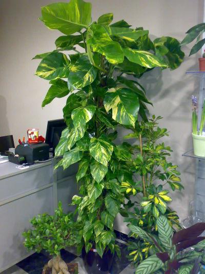 Baobab plantas y decoraci n granada plantas naturales - Plantas ikea naturales ...