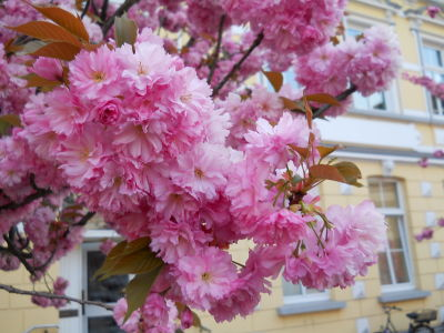 Kirschblüten im Frühsommer