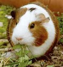 tierparadies meerschweinchen hamster. Black Bedroom Furniture Sets. Home Design Ideas