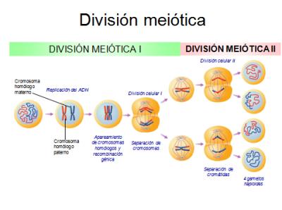 Meiosis Cycle Biología 2do C - ...