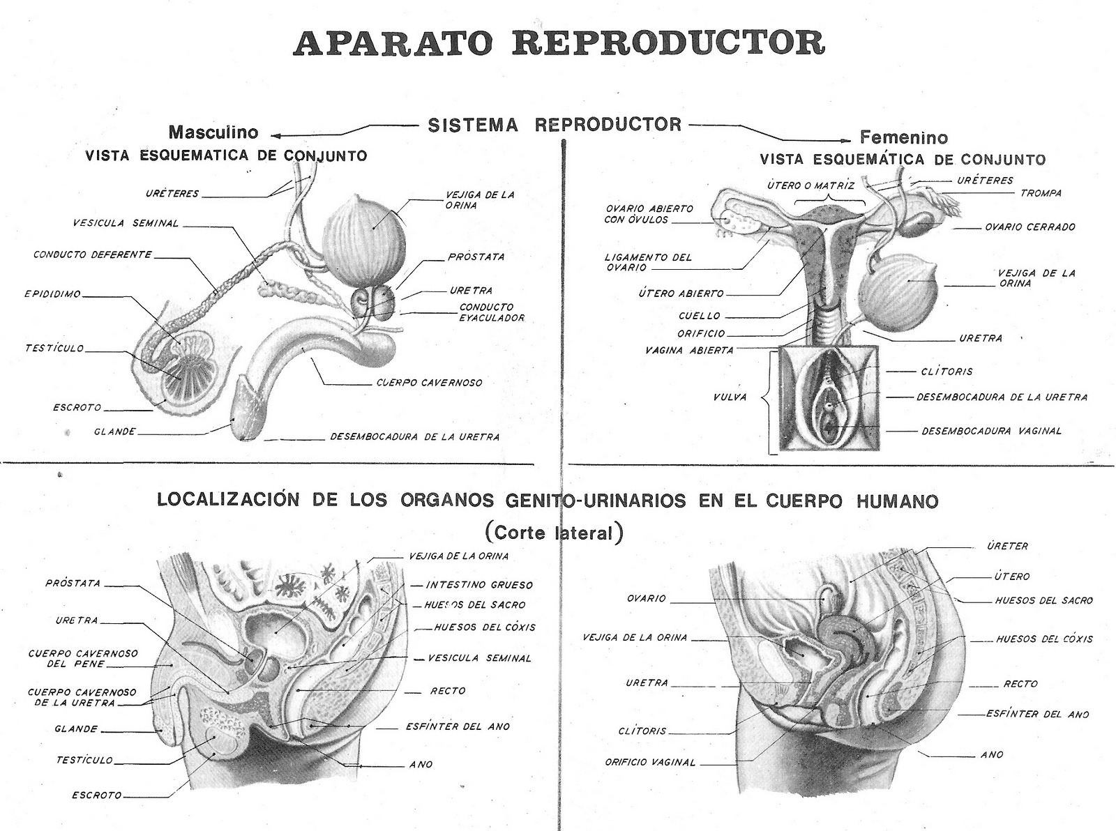 biologiahumanatercerodos - UNIDAD 3: SEXUALIDAD EN EL ADOLESCENTE