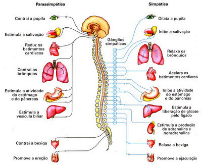 BrigutBiology - SISTEMA NERVIOSO PERIFERICO