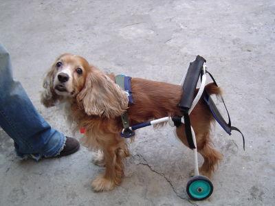 Carrito para perro discapacitado car can galeria de fotos for Carritos para perros