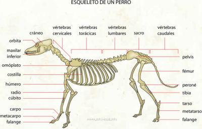 esqueletodelperro