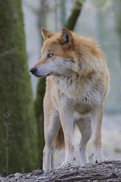 Feu's Boys Chandley-wolf