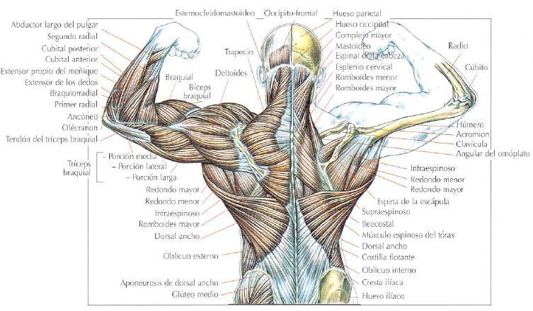 Excelente Anatomía Espalda Y Ejercicios Elaboración - Anatomía de ...