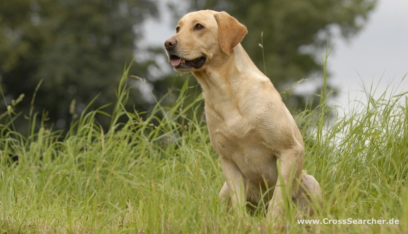 CrossSearcher Labrador Retriever