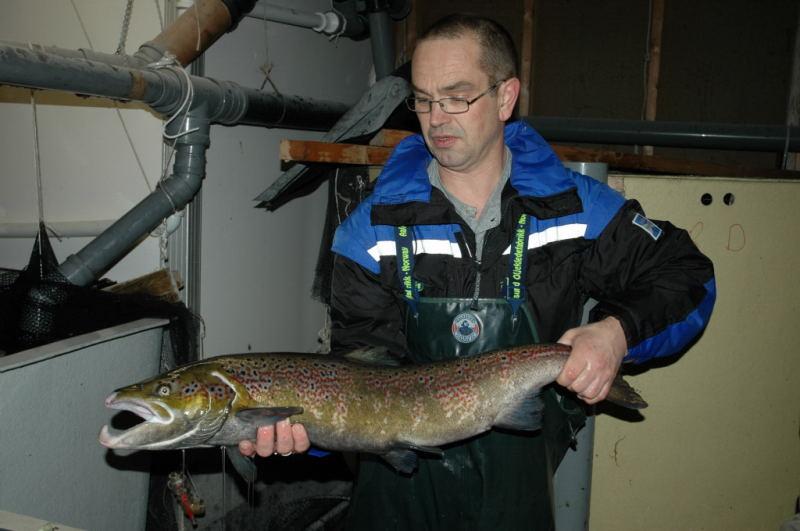 Gunnar Bakke med ein hannlaks i gytedrakt på 7.5kg. Fisken vart nytta under strykinga i November. Foto: Arne R Sandven