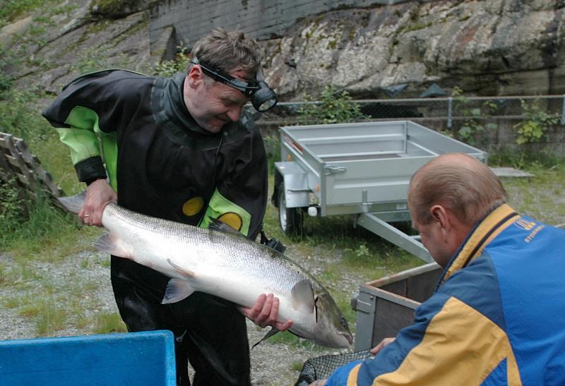 Det var mykje fin laks under det tidlege stamfiske i 2005. Her ein fin hannlaks på 12.5kg. Foto: Ole R Sandven