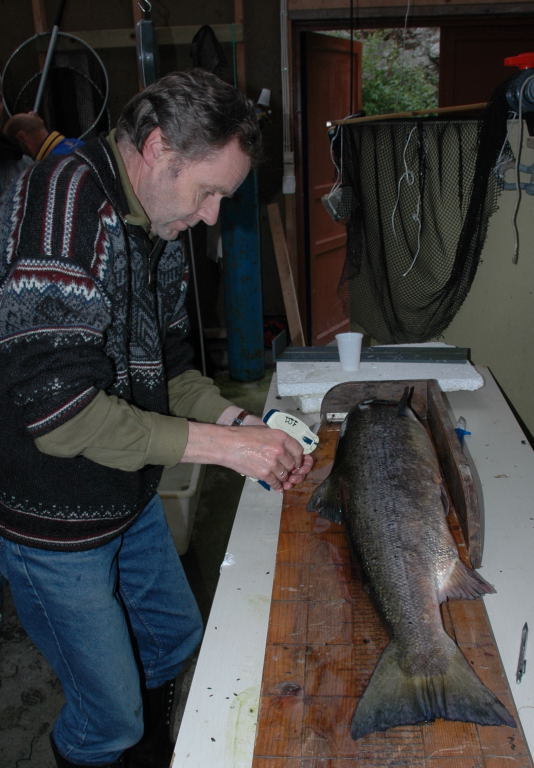 Merking og kontrollering av stamfisk. Foto: Arne R Sandven
