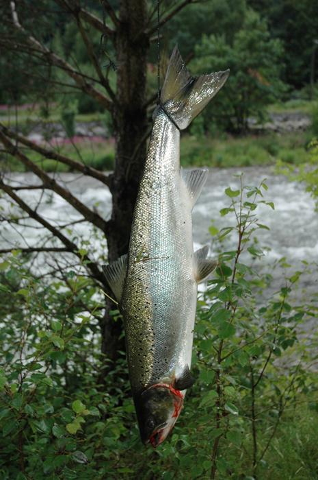 Denne fettfinneklypte laksen på 3 kg tok Idar Tveiterås i Kanalen 15.juli. Han tok 4 laksar den dagen, den største var 6,8kg (oppdrett). Foto: Arne R Sandven