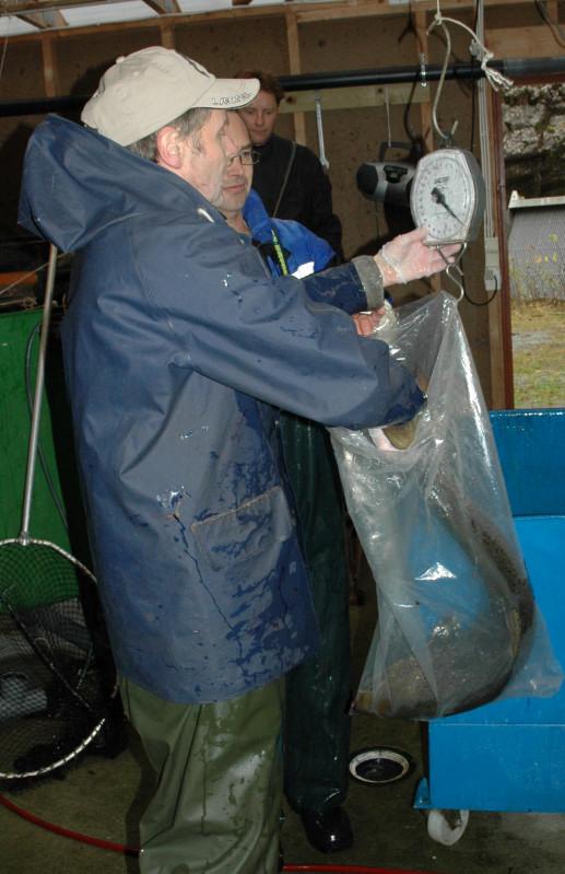 Holaks på 10kg, før merking og skjellprøvetaking. Foto: Arne R Sandven
