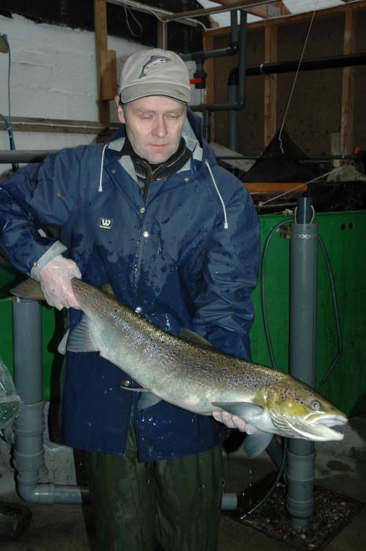 Fin holaks på vel 7kg, teken i oktober på stamfiske. Foto: Arne R Sandven
