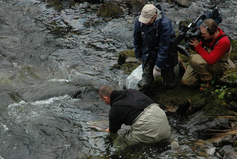 Storlaksen vert sett ut i elva. Foto: Arne R Sandven