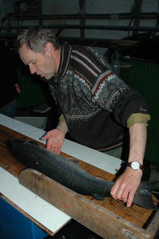 Laks teke i Juni på det tidlege stamfisket, laksen vog vel 6kg. Foto: Arne R Sandven