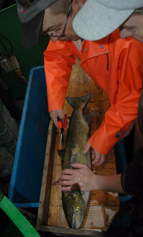 Kontroll av stamfisk med merking og skjellprøvetaking. Foto: Arne R Sandven