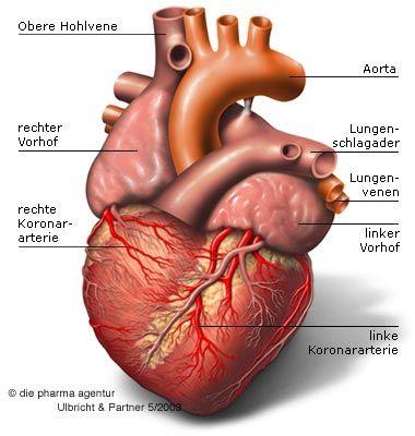 Das Herz - Aufbau