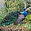 Peacock Jigsaw Puzzle at www.davidedisongames.page.tl