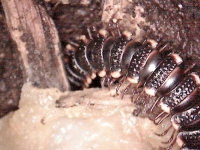 Rhododesmus mastophorus mastophorus an einem Stück Gurke