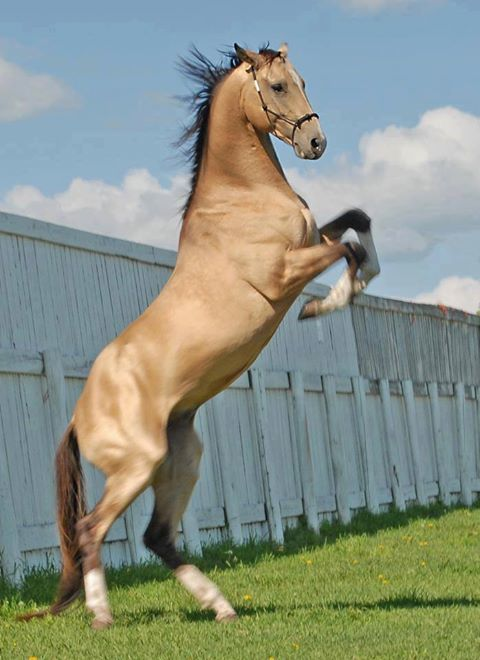 turkmen horse, ahak teke, ati