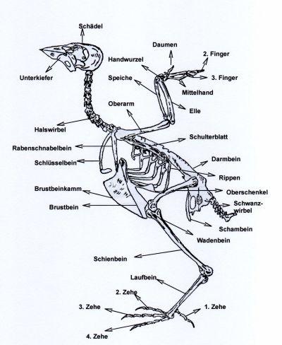 Großzügig Vogel Anatomie Skelett Ideen - Anatomie Von Menschlichen ...