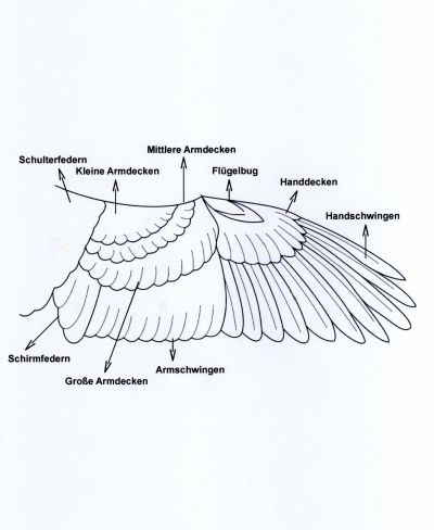 Farben- und Positurkanarienzucht - Anatomie des Vogels