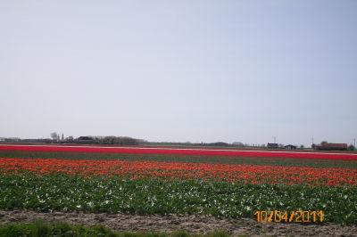 Tulpenblüte auf Zeeland