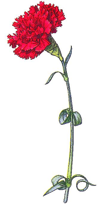 goździki