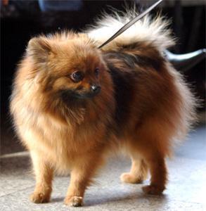 Furry Paws Colour Guide Pomeranian