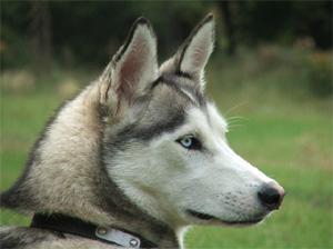Furry Paws Colour Guide - Siberian Husky