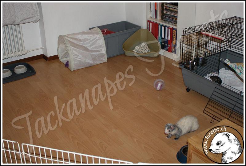 39 jackanapes 39 ferrets frettchenzucht schweiz allevamento furetti svizzera elevage furets. Black Bedroom Furniture Sets. Home Design Ideas
