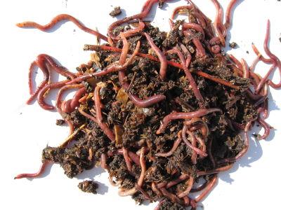 Kompostwürmer der gartencop kompostwürmer