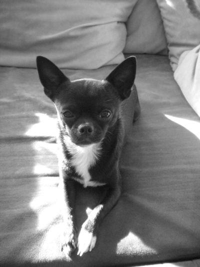 Genuine Chihuahuas