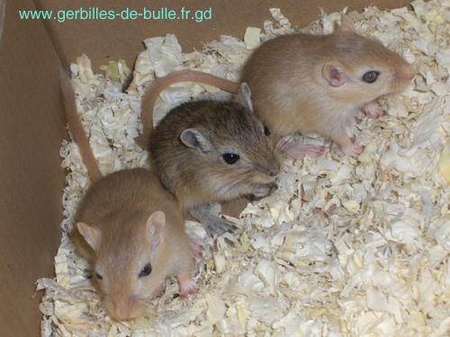Gerbilles de Bulle d69014372132