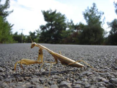 Mantis ''Peygamber Devesi''