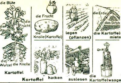 Zeichnung zur Kartoffelpflanze