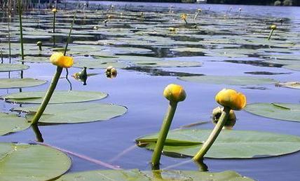 Foto von Mummeln auch gelben Teichrosen genannt