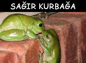 Sağır Kurbağa