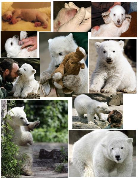 Knut wächst und gedeiht !