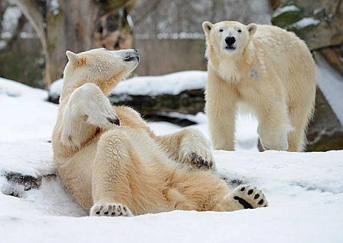 Knut (vorne links) mit seiner schlagkräftigen Freundin Gianna im Berliner Zoo. (Foto: dpa)