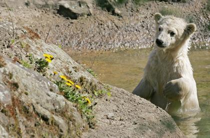 Hält Knut bereits Ausschau nach Flocke ?